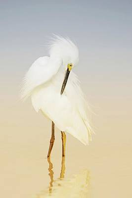Lori A Cash Royalty-Free and Rights-Managed Images - Snowy Egret Preening by Lori A Cash