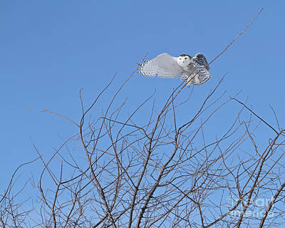 Katharine Hepburn - Snowy owl above the trees by Heather King
