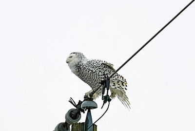 Sean Rights Managed Images - Snowy Owl Balancing Act Royalty-Free Image by Debbie Oppermann