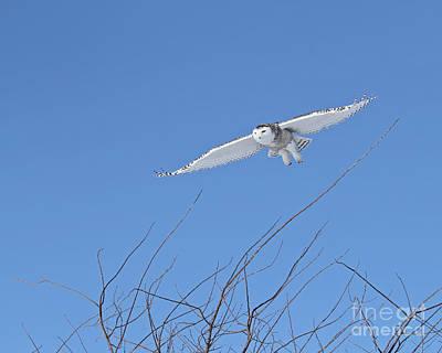 Katharine Hepburn - Snowy owl soaring high by Heather King