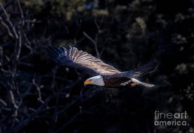 Steven Krull Royalty-Free and Rights-Managed Images - Soaring Eagle by Steven Krull