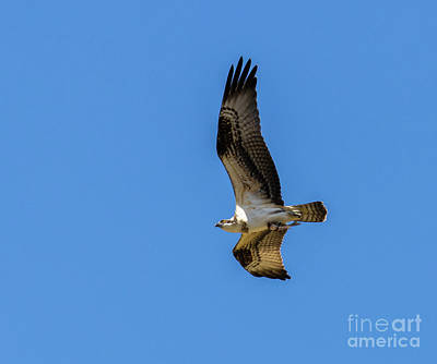 Steven Krull Royalty-Free and Rights-Managed Images - Soaring Osprey With a Fish by Steven Krull