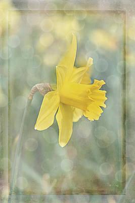 Photograph - Soft and Creamy Yellow Daffodil by Judy Garrard