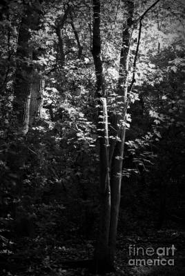 Frank J Casella Royalty-Free and Rights-Managed Images - Soft Light Forest Trees by Frank J Casella