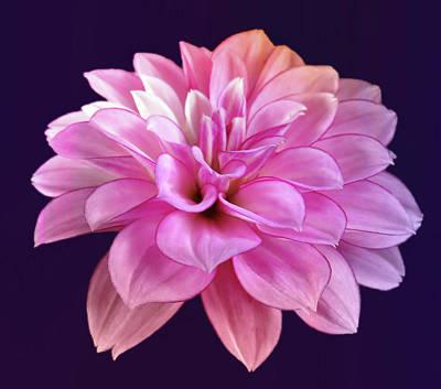 Grateful Dead - Soft Pastel Colored Dahlia by Johanna Hurmerinta