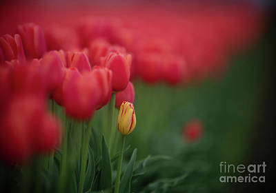 Abstract Animalia Royalty Free Images - Soft Tulips Solitary Yellow Bloom Royalty-Free Image by Mike Reid
