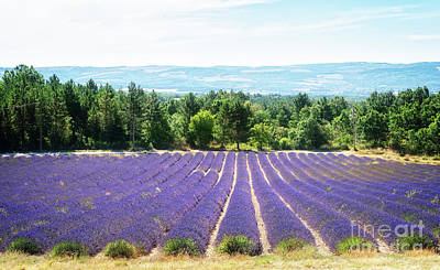 Lovely Lavender - Song of Lavender field at summer by Anastasy Yarmolovich