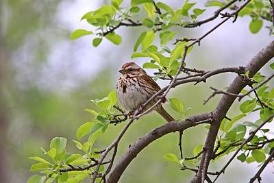 Impressionist Nudes Old Masters - Song Sparrow in Spring by Marlin and Laura Hum