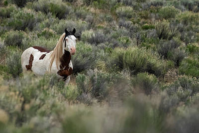 Animals Royalty-Free and Rights-Managed Images - South Steens Stallion with Cool Markings by Belinda Greb