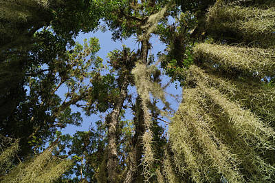 David Bowie Royalty Free Images - Spanish Moss In the Everglades Royalty-Free Image by John Wall
