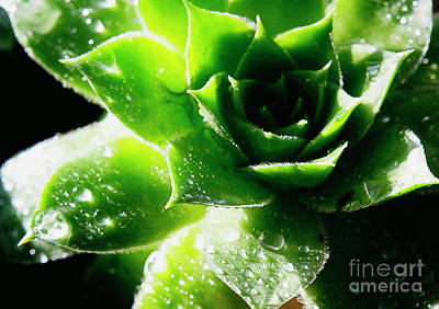 On Trend Breakfast - Sparkling Dew Drops on a Green Succulent by Emily Hopper by Emily Hopper