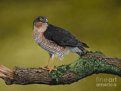 Karie-ann Cooper Royalty Free Images - Sparrowhawk Bird of Prey Royalty-Free Image by Karie-ann Cooper