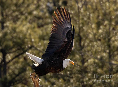 Steven Krull Royalty-Free and Rights-Managed Images - Splendid Bald Eagle by Steven Krull