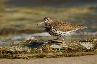 Lori A Cash Royalty-Free and Rights-Managed Images - Spotted Sandpiper on Beach by Lori A Cash