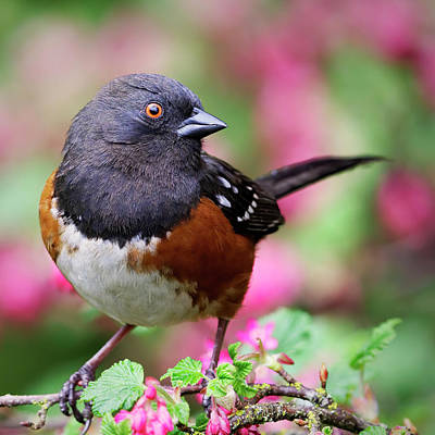 Photograph - Spotted Towhee - Spring by Brad Mitchell