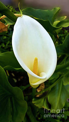 Fruits And Vegetables Still Life - Spring Calla Lily  by Julieanne Case