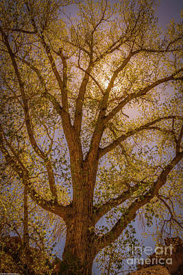 Sean Rights Managed Images - Spring Cottonwood Royalty-Free Image by Mitch Shindelbower