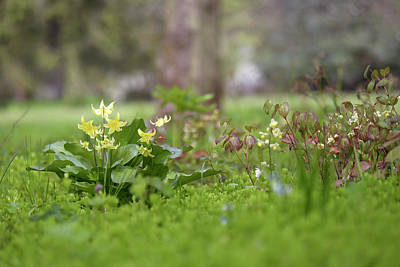 Sean Rights Managed Images - Spring Ephemerals - Erythronium Pagoda Royalty-Free Image by Jenny Rainbow