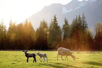 New Years - Spring Lambs by Steve Keyser