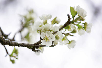 Photograph - Spring Pear-tree Blossom by Bets Wilson