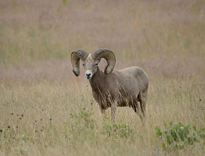 Target Threshold Watercolor - Spring Ram by Whispering Peaks Photography