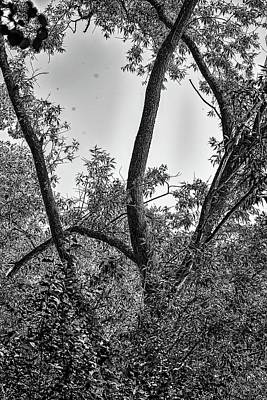 David Bowie Royalty Free Images - spring tree BW #l1 Royalty-Free Image by Leif Sohlman