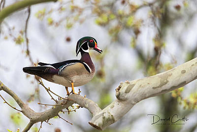 When Life Gives You Lemons - Springtime Wood Duck by David Cutts