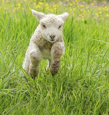 Staff Picks Judy Bernier Rights Managed Images - Sprinting Lamb Royalty-Free Image by Lara Morrison