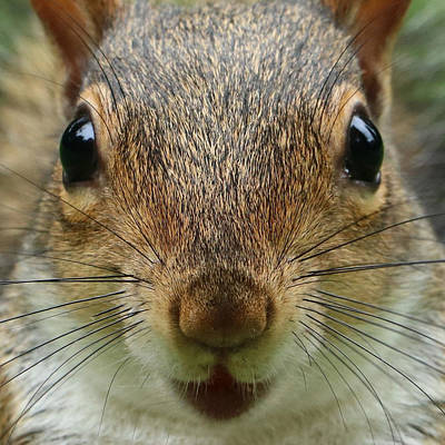 Photograph - Squirrel Face by Dale Jackson