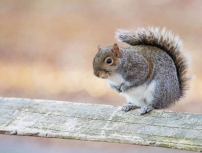 Lori A Cash Royalty-Free and Rights-Managed Images - Squirrel on Wooded Fence by Lori A Cash