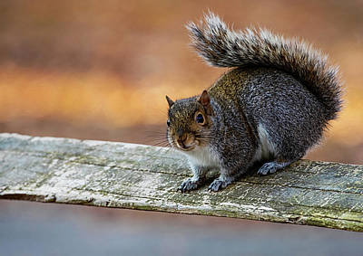 Lori A Cash Royalty-Free and Rights-Managed Images - Squirrel Pausing on Wooded Fence by Lori A Cash