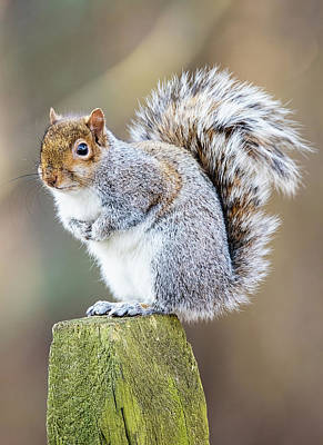 Lori A Cash Royalty-Free and Rights-Managed Images - Squirrel Standing on Post by Lori A Cash