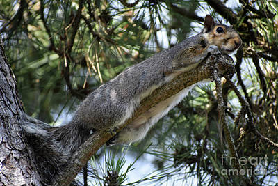 Photograph - Squirrel Takes A Rest After Big Breakfast by Rose De Dan