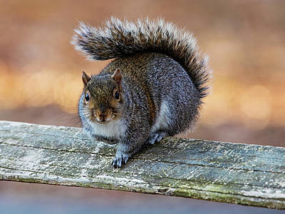 Lori A Cash Royalty-Free and Rights-Managed Images - Squirrel Up Close on Wooded Fence by Lori A Cash