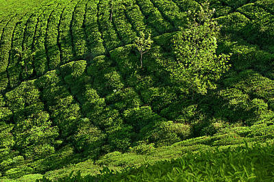 Royalty-Free and Rights-Managed Images - SSK 9559 Amidst Tea Plantations. Color by Sunil Kapadia