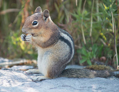 Photograph - St Helens Squirrel by Doug LaRue
