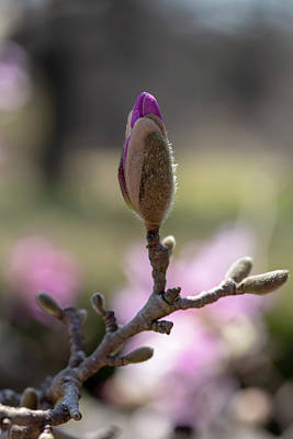 Photograph - Star Magnolia 2 by Dawn Cavalieri