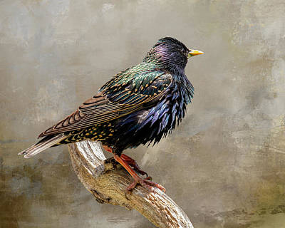 Clouds Rights Managed Images - Starling Portrait Royalty-Free Image by Cathy Kovarik
