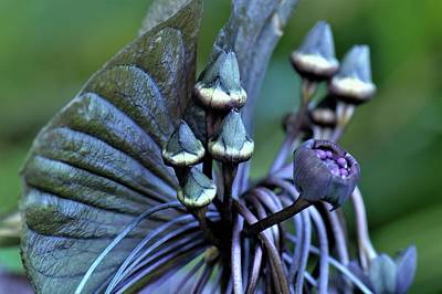Design Pics - Strange and Exotic Black Bat Flower by Heidi Fickinger