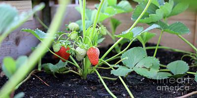 Katharine Hepburn - Strawberries Ripening 1470 by Jack Schultz
