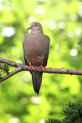 Animals Royalty-Free and Rights-Managed Images - Summer Dove by Debbie Oppermann