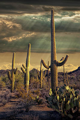 Anne Geddes - Sunbeams with Saguaro Cactuses in Saguaro National Park by Randall Nyhof