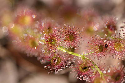 Abstract Stripe Patterns - Sundew Macro 2 by Michaela Perryman