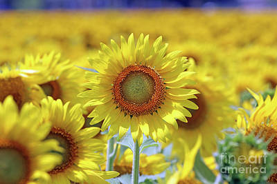 Studio Grafika Science - Sunflower  0103 by Jack Schultz