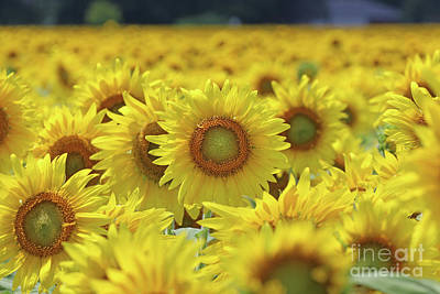 Studio Grafika Science - Sunflower  0107 by Jack Schultz