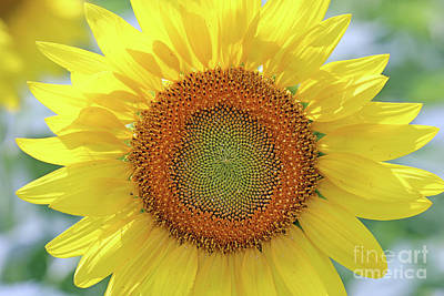 Studio Grafika Science - Sunflower  0118 by Jack Schultz