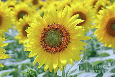 Studio Grafika Science - Sunflower  0161 by Jack Schultz
