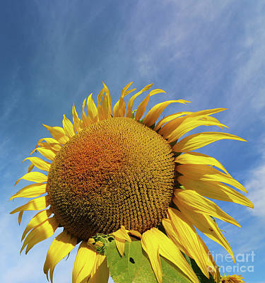Studio Grafika Science - Sunflower  0469 by Jack Schultz
