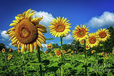Studio Grafika Science - Sunflower 2 by Nick Zelinsky Jr