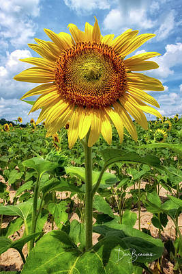 Dan Beauvais Royalty-Free and Rights-Managed Images - Sunflower 2216 by Dan Beauvais